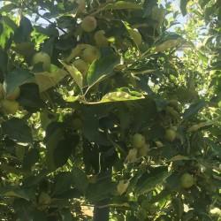 Fresh Apple Wholesale
